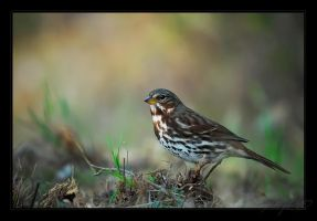 Fox Sparrow by tisbone