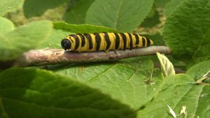 Cinnabar caterpillar by Hungy78
