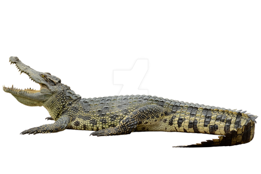 Crocodile on a transparent background. by PRUSSIAART