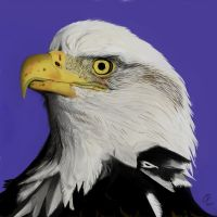 Bald Eagle by 0g0p0g0