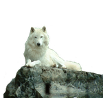 Wolf White stock PNG by Shadow-of-Nemo