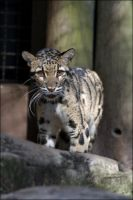 Clouded Leopard 7 LP012208 by hoboinaschoolbus