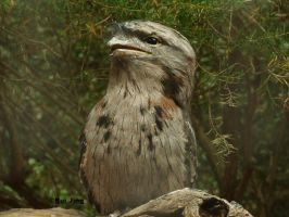 Tawny Frogmouth by GreenNexus51