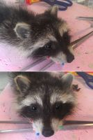 WIP Baby raccoon softmount by DeerfishTaxidermy