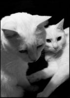 two white cats by PalePerfection