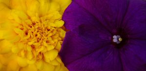 Complementary: Purple + Yellow by brandimillerart