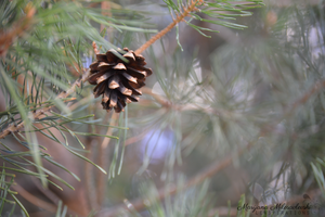 Pinecone by LenSpirations