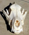 wolf skull 2 SOLD by lamelobo