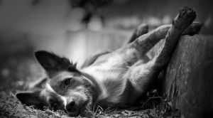 Sleepy rufus by PasoLibre