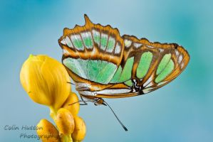 Malachite butterfly by ColinHuttonPhoto
