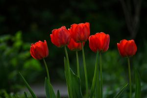 Glowing red tulips by sztewe