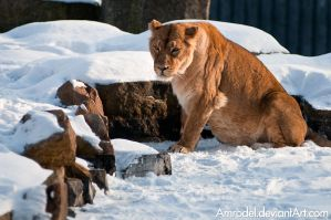 Lioness on Snow by amrodel