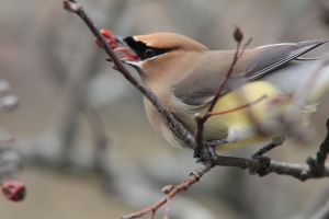 Cedar Waxwing 2 - March12, 2012 by Martzart