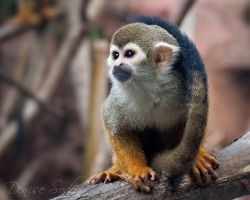 Squirrel Monkey by DeniseSoden