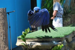 hyacinth macaw 4.1 by meihua-stock