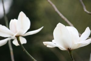 white magnolias closer by ingeline-art