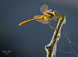 Good Morning Dragonfly by Brandzai