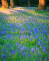 Bluebell blackberry by sassaputzin
