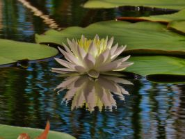 Savannas Preserve Water Lily 2016 by Matthew-Beziat
