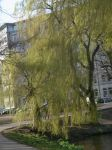 weeping willow by Chiwab