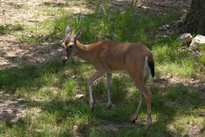 White Tailed Deer IV by OverStocked