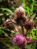 Thistle Flower Bunch by Sharondipity