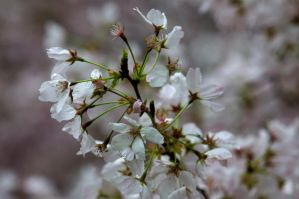 Cherry Blossoms 3 by FairieGoodMother