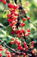 redcurrant by Mariel-rose