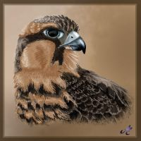 Aplomado Falcon by Fortunes-Favor
