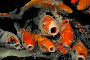 Hungry red carps by Vivi-S