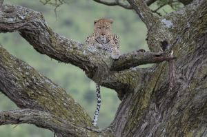 TZ Leopard Tree Staring SNG by ZekeChanguris