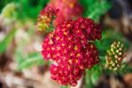 Red Yarrow by Grace-love-kindness