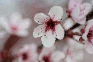 Cherry Blossoms 2 by sd-stock