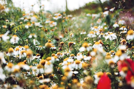 Camomile meadow by minastir