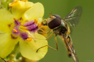 Hoverfly by Akxiv