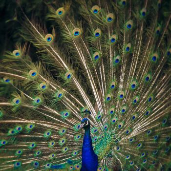 Peacock Plumage by xKimJoanne