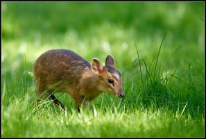 Young Muntjac Deer by nitsch