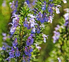 Rosemary by ShlomitMessica