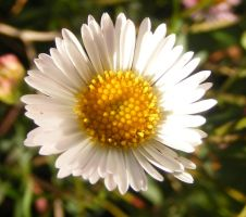 Baby White Daisy Macro by Gracies-Stock