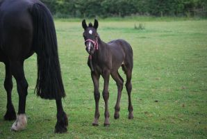 Foal Stock 5 by equinestudios