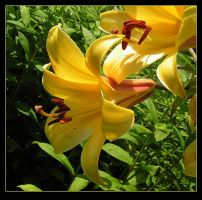 Yellow Lilies by JocelyneR