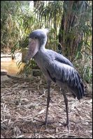 Shoebill I by Tienna