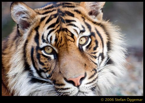 Panthera tigris altaica by Ehnvis