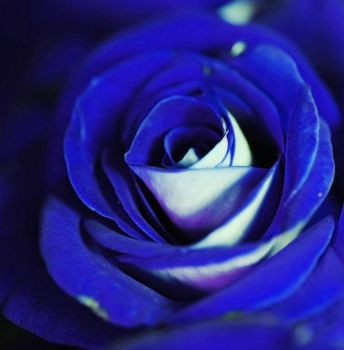 Blue Rose by bloomingvinedesign