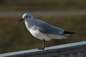Gull 2 by wuestenbrand