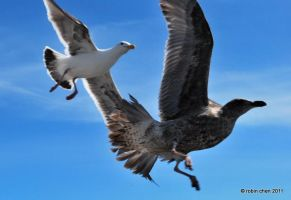Wild Gull Chase by meihua