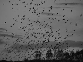 Starlings in black and white 2 by Juliemarie91