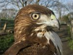 Juvenile Red-tailed Hawk by Ciameth