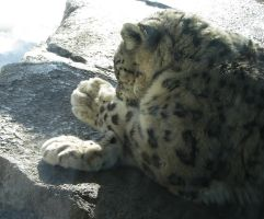 Paw Stock 8: Snow Leopard by HOTNStock