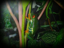 Frenchy on his plant, Agalychnis callidryas by AlexandersMantids